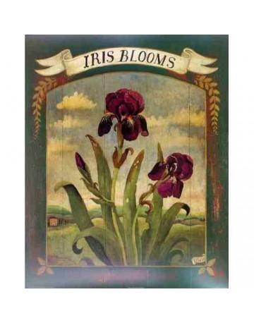 Iris/ iris blooms