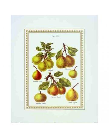 Différentes variètées de poires