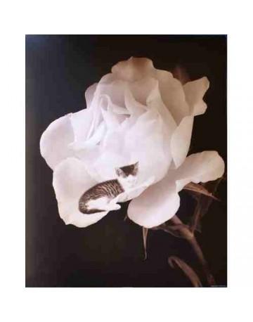 Photo chat sur rose blanche